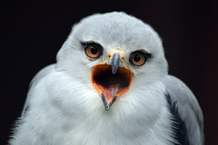 Black-shouldered kite (James L Taylor) Tags: