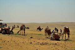 esperando a los turistas (chemakayser) Tags: egypt cairo desierto egipto turismo camels guiza camellos