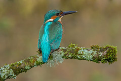 DSC5581 Kingfisher.. (jefflack Wildlife&Nature) Tags: kingfisher kingfishers birds avian wildlife wildbirds waterbirds wetlands rivers riverbirds lakes waterways countryside nature wow brilliant ngc