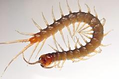centipede (alupihan) (DOLCEVITALUX) Tags: insect centipede arthropods venom alupihan