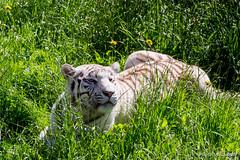 Felinos o lindos gatitos (Photo Valdueza) Tags: parque naturaleza fauna gatos felinos tigre cantabria cabarceno