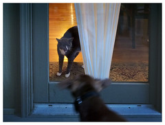Mad cat (daveelmore) Tags: madcat hiss mad angry pissedoff territory door window dog puppy confrontation standoff pets lumixleicadgsummilux25mm114