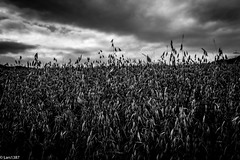 Mono Field (lars1387) Tags: akershus norway d810 nikon