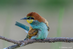 Merops apiaster. (Ciminus) Tags: europeanbeeeater naturesubjects aves ornitology nature ciminus birds ciminodelbufalo gruccione uccelli gupier nikond500 oiseaux wildlife meropsapiaster afsnikkor500mmf4gedvr nikon ornitologia
