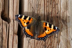 Basking in the sun (janrs7) Tags: butterfly sommerfugl smalltortoiseshell neslesommerfugl sun july old wood basking closeup