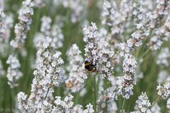 IMG_4925 (ElsSchepers) Tags: limburglavendel lavendelhoeve stokrooie kuringen hasselt natuur vlinders