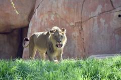Lion at the San Diego Safari Park (GMLSKIS) Tags: sandiego safaripark lion california nikond750