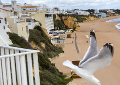 Photobombed? (Hans van der Boom) Tags: europe portugal algarve vacation holiday albufeira photobombed seagull bird animal beach flying pt