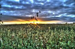 Standing above the rest (adam_moralee) Tags: landscape standing above rest landscapes field nature corn flowering sunset clouds sun set devon somerset hemyock village life adam moralee adammoralee nikond7000 nikon d7000 18200mm tamron lens tripod multiple exposures
