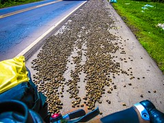 We thought someone had spilled rocks on the shoulder, but they are nuts.
