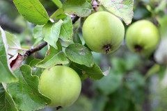 Omenat (KaakonKantri) Tags: omena omenapuu syksy lhiruoka