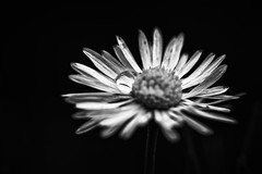 Daisy Sharp On The Drops (Alfred Grupstra Photography) Tags: bw daisy flowersinblackwhite macro macromondays blackandwhite drop light