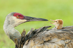 Talking to Mom (dubrick321) Tags: birds sandhillcranes nature outdoors floridabirds babybird sandhillcranecolt colt gruscanadensis
