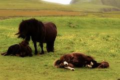 Pony delle Shetland (u.giommetti) Tags: animals colori color isoleshetland shetlandislands paesaggio landscape animali pony scozia scotland europa europe