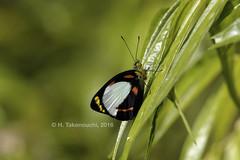 Delias kummeri similis (Hiro Takenouchi) Tags: papua indonesia wildlife nature butterfly butterflies insect delias pieridae