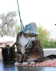 The Mad Hatter? (andymiccone) Tags: cat hat tabby sweet orchid kissa katze feline angry mad summer