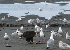 HomerArea21 (alicia.garbelman) Tags: alaska beach ocean birds anchorriverstaterecreationarea kenaipeninsula baldeagles seagulls wildlife