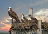 Osprey Family (Daveyal_photostream) Tags: osprey nikor nikon nature newjersey wildwoodnewjersey birds meandmygear mygearandme mycamerabag motion movement fowl composit photoshop lightroom mergedphotos sunset outdoor naturesbeauty nest ospreynest anawesomeshot wow soniagallery bird animals animal