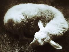 Sleeping Norah (Maria Cecilia Camozzi B.) Tags: sheep oveja norah sleeping nap brebie durmiendo pecora camozzi mariaceciliacamozzi monochrome bw