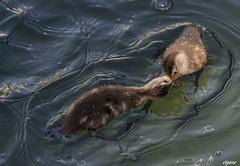 C 'est moi qui parle!!!!!!!!!! (Elyane11) Tags: oiseaux canards bébécanard pictures saariysqualitypicturesgallery