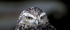 Burrowing owl (Sheldrickfalls) Tags: hamertonzoo hamerton cambridgeshire england uk burrowingowl owl