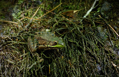 Blending In (vbd) Tags: pentax k3 vbd smcpentaxda55300mmf458ed ct connecticut frog park newengland greenfrog ranaclamitans handheld manualfocus 2016 summer2016 chatfieldhollowstatepark green
