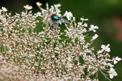 """Schmeißfliege (Calliphoridae) (02) • <a style=""""font-size:0.8em;"""" href=""""http://www.flickr.com/photos/69570948@N04/28973474295/"""" target=""""_blank"""">View on Flickr</a>"""