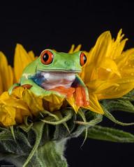Sunflower (susie2778) Tags: captivelight captive studio flash frog olympus omdem5mii 60mmmacrof28 redeyedtreefrog sunflower