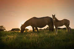 Curiosity (Windermere Images) Tags: sky sunlight grass calm love sunset meadow fields grazing mare foal evening horses