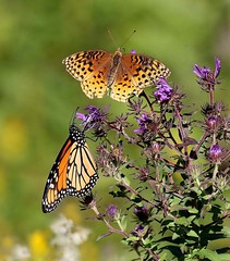 Turning of the Seasons (Variegated Vibes) Tags: monarch fritillary newenglandaster lepidoptera coth ngc npc