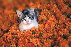 Kitten. Mysore, India (Marji Lang Photography) Tags: 2013 asia inde india karnataka marjilang mysore traveldestinations animal animalportrait animalsonly atmosphere babycat cat catinflowers catportrait cats chat colorphotography colorful colors cute cuteness cutenessoverload documentary eyecontact eyes feline felines flowers horizontal kitten life looking lovely marigold market mood nopeople noperson oneanimal onecat orange photography smallcat supercute travel traveldestination travelphotography