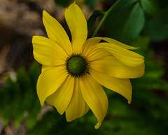 Rudbeckia Herbstsonne (San Francisco Gal) Tags: rudbeckiaherbstsonne rudbeckia flower fleur bloom blossom macro ngc npc