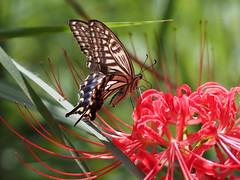 (Polotaro) Tags: mzuikodigital45mmf18 butterfly insect bug nature olympus epm2 pen zuiko            9  garden