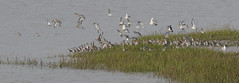 Take-off  1 (jump for joy2010) Tags: uk england somerset huntspill riverparrett hightide september 2016 nature wildlife birdwatcing birds blacktailedgodwits limosalimosa flocks inflight waderbirds