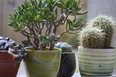 Cactus Party (thomasmartin12) Tags: plantes portraits canon 100d 50mm pots multicouleurs