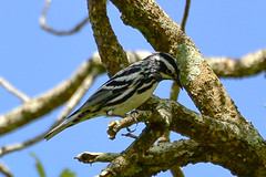 20150404-DSC_1552.jpg (csimison) Tags: bird unitedstates wildlife alabama dauphinisland