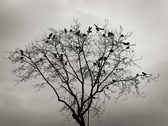 A tree full with birds (VillaRhapsody) Tags: winter bw tree monochrome birds bare branches pigeons istanbul challengeyouwinner