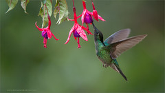 Magnificent Hummingbird (Raymond J Barlow) Tags: travel flower green bird costarica hummingbird wildlife adventure birdinflight raymondbarlow