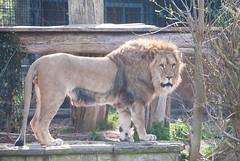 18.04.2015/24 - Löwe (grasso.gino) Tags: nature animals cat zoo tiere natur lion katze mighty dortmund löwe mächtig