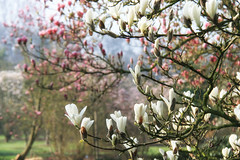 Magnolia Blossoms (JanDC (Jan)) Tags: garden spring blossoms magnolia