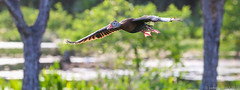 20150422 70D Wakodahatchee 62 (James Scott S) Tags: animal canon scott james dof unitedstates florida action wildlife birding flight s wetlands everglades fl 70200 ef delraybeach wakodahatchee 70d lr5