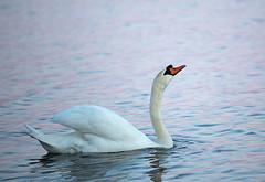 Evening swan (pirjolam) Tags: cygnus olor