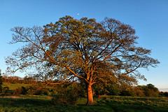 Sunset Tree (lincoln_eye) Tags: uk greatbritain sunset england moon tree grass countryside spring europe unitedkingdom branches hill eu sunny bluesky lincolnshire lincoln gb trunk april bushes 2015 southcommon