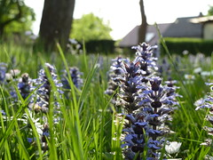 Kriechender Gnsel (manuela1970) Tags: flower licht wiese kirche blumen lila schatten gudensberg gnsel chattengau