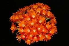 Aylostera heliosa (Pterodactylus69) Tags: flowers cactus orange flower fleur flor cactaceae blte blten kaktus rebutia