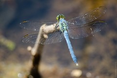 Eastern Pondhawk (cclontz) Tags: georgia nikon dragonflies dragonfly wetlands odonata d7000