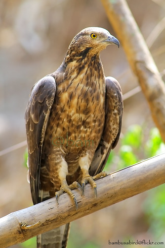 เหยี่ยวผึ้ง / Oriental Honey-buzzard / Pernis ptilorhyncus