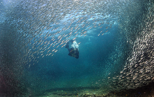 Sardine Run