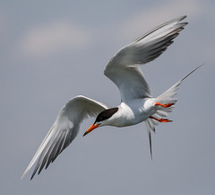 Fosters Tern starting to dive (tresed47) Tags: 2016 201607jul 20160706njforsythebirds birds canon7d content ebforsythenwr folder forsterstern newjersey peterscamera petersphotos places takenby tern us
