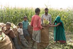 Day Laborers and Children Standing Bagging Sweet Corn (IFPRI-IMAGES) Tags: family boy india plant men field season children workers corn women village outdoor farm farming grain cereal grow vegetable soil health crop produce farmer sack agriculture yield process maize cultivation sustainable pulses burlap nutrition southasia manoli haryana fertile shuck sonipat smallfarms foodsecurity agriculturaldevelopment micronutrients ifpri
